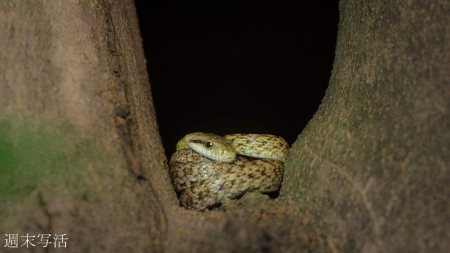 蛇のアオダイショウの画像