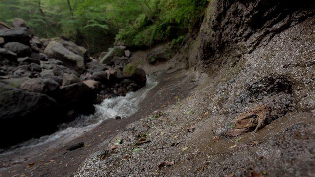 20mmF1.8で撮影したヒキガエル