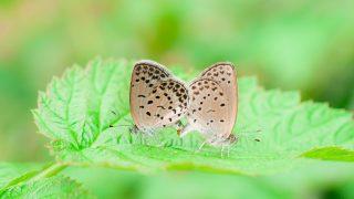 シジミチョウの交尾