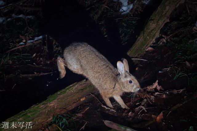 ノウサギの写真