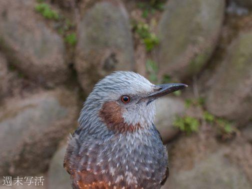 ヒョドリの写真