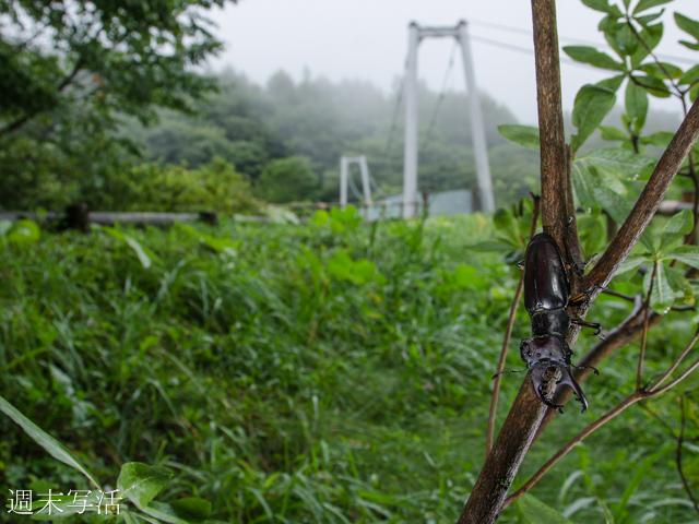 ミヤマクワガタの写真