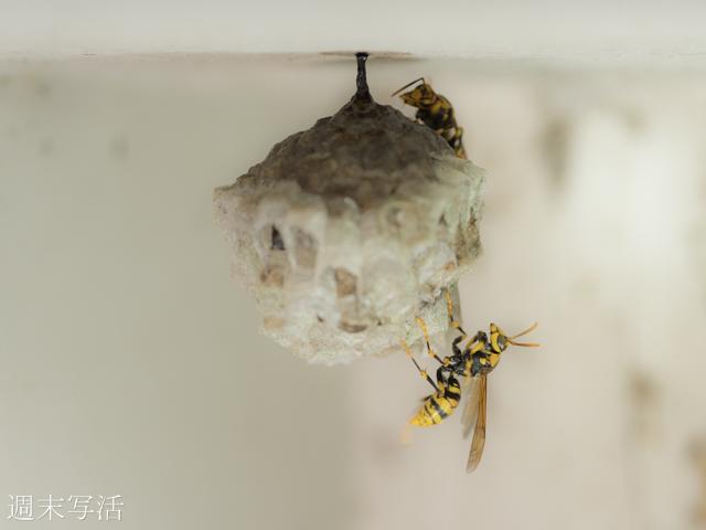 アシナガバチの巣と親ハチの写真