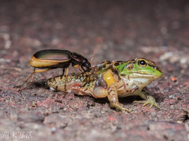 ゴミムジがカエルを食べる写真