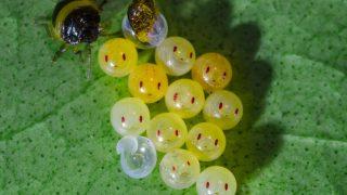 カメムシのニコニコした卵の写真