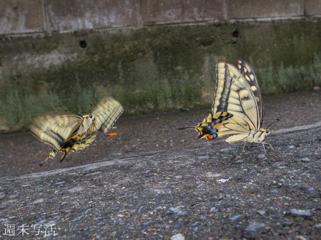 アゲハチョウの飛翔