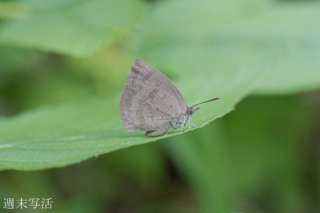 接写リングで蝶の撮影