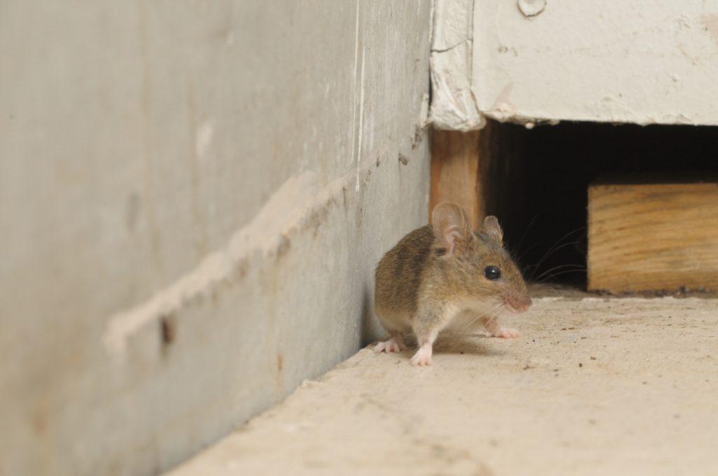 ネズミを自動撮影