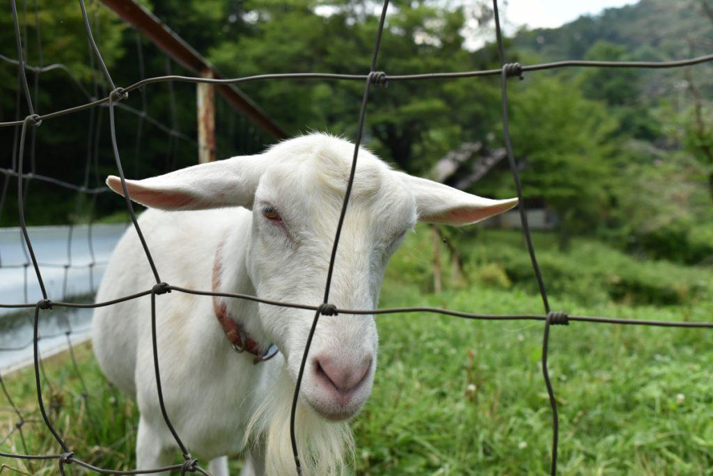 神津牧場のヤギ