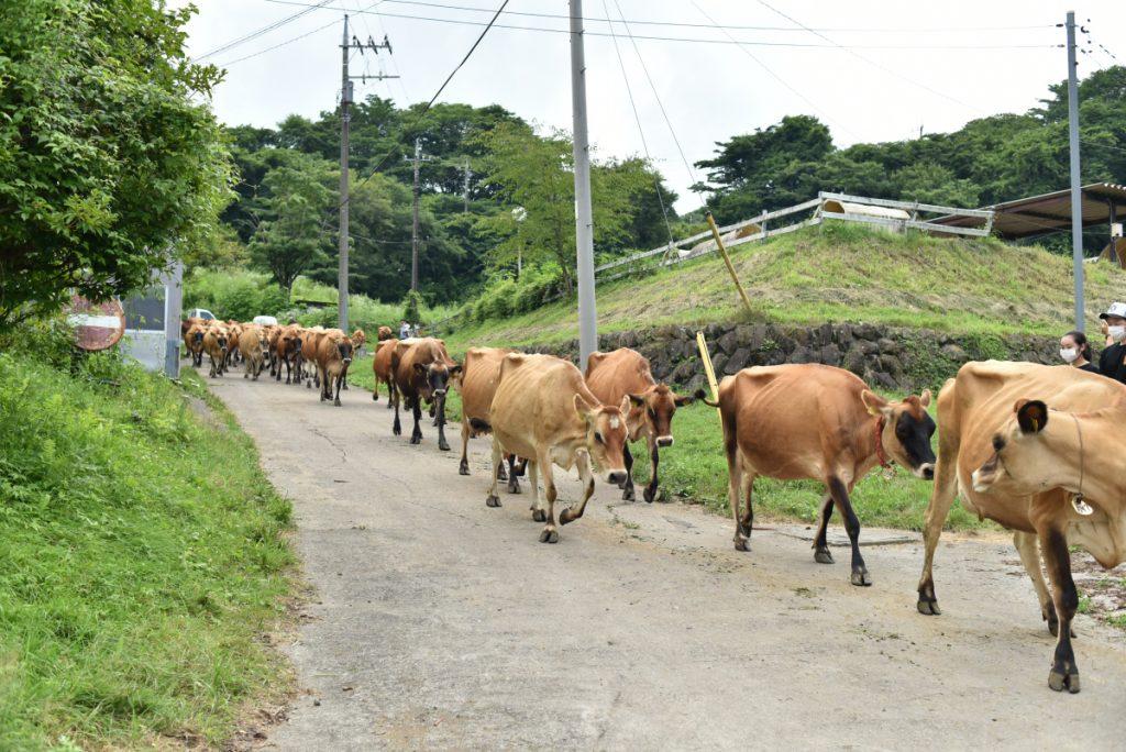ジャージー牛の行進